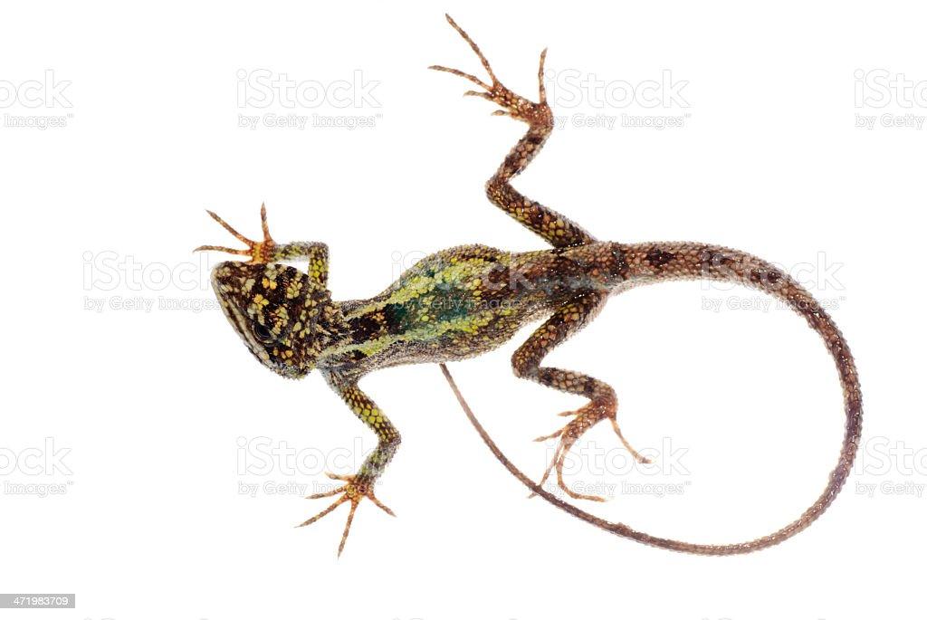 animal lizard Chinese tree dragon stock photo