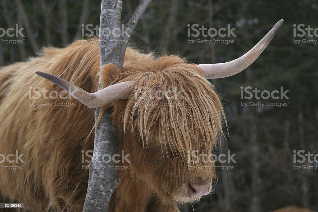 Animal - long hair cow stock photo