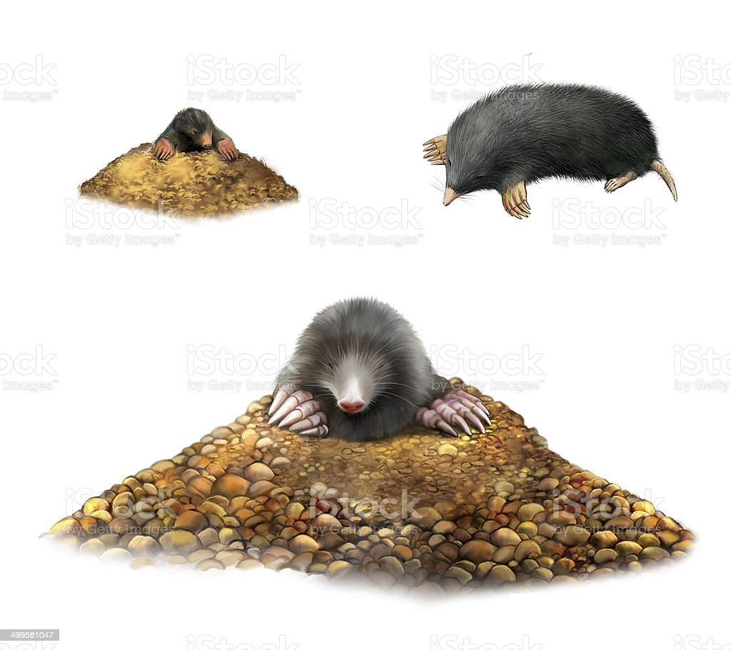 Animal Mole in molehill showing claws. royalty-free stock photo