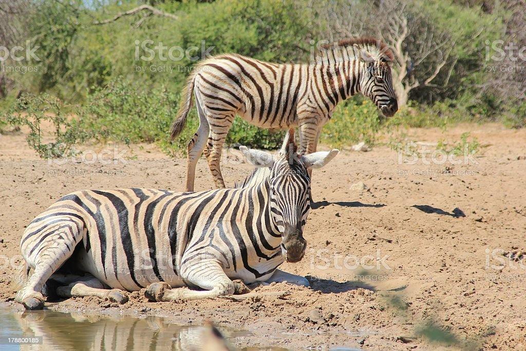 Animal Moms - Burchell's Zebra from Africa stock photo