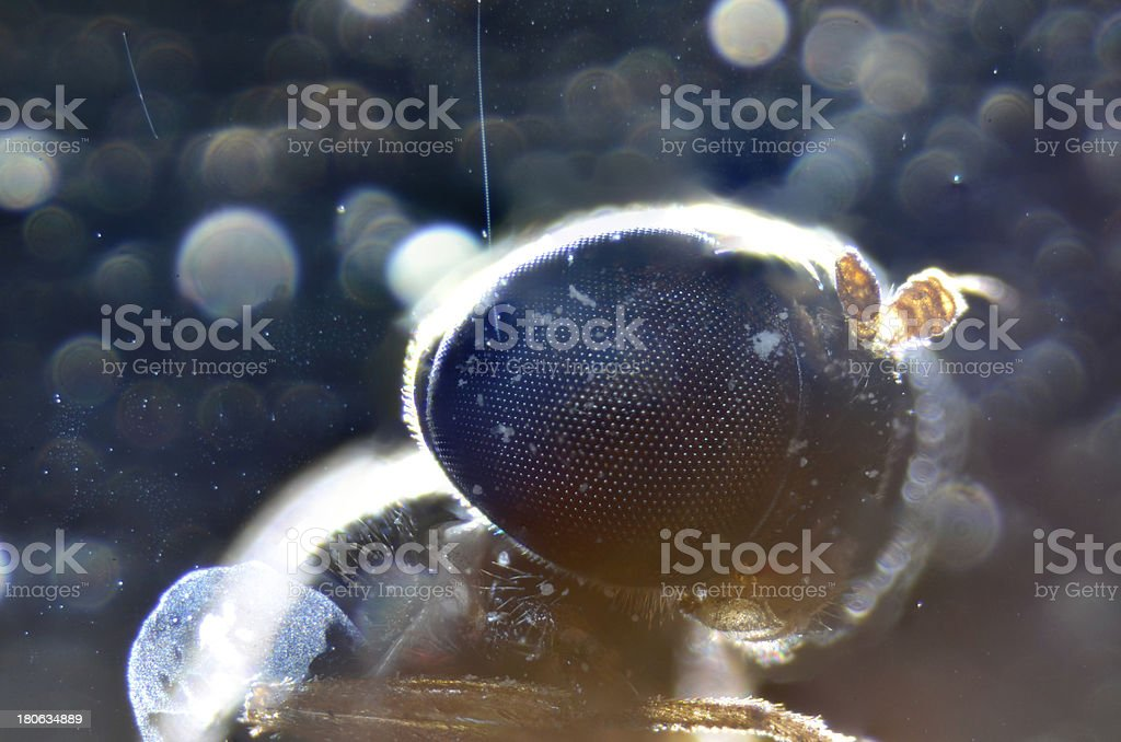 animal mouth parts of insect fly royalty-free stock photo