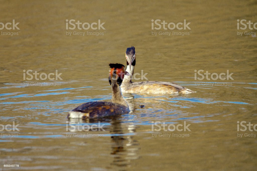 Image of an animal pair of wild birds Podiceps cristatus floating on...