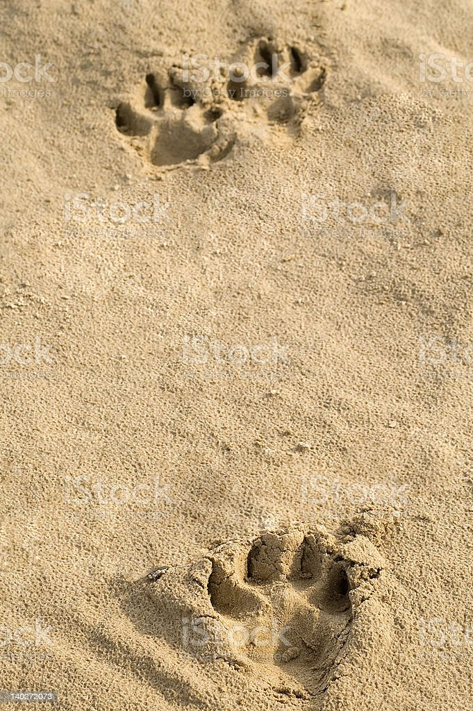 Animal pawprints in sand. royalty-free stock photo