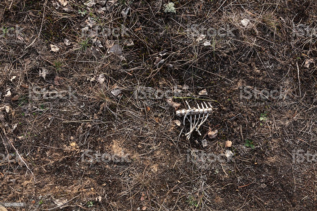 Animal rib bones on the ground stock photo