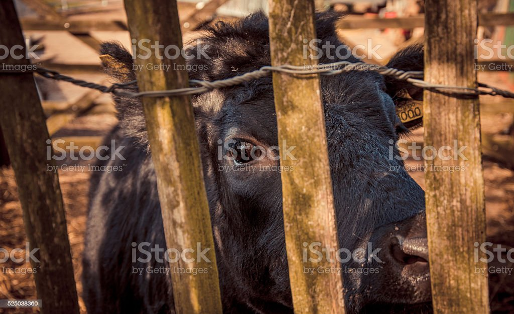 Animal rights - Cow's point of view stock photo