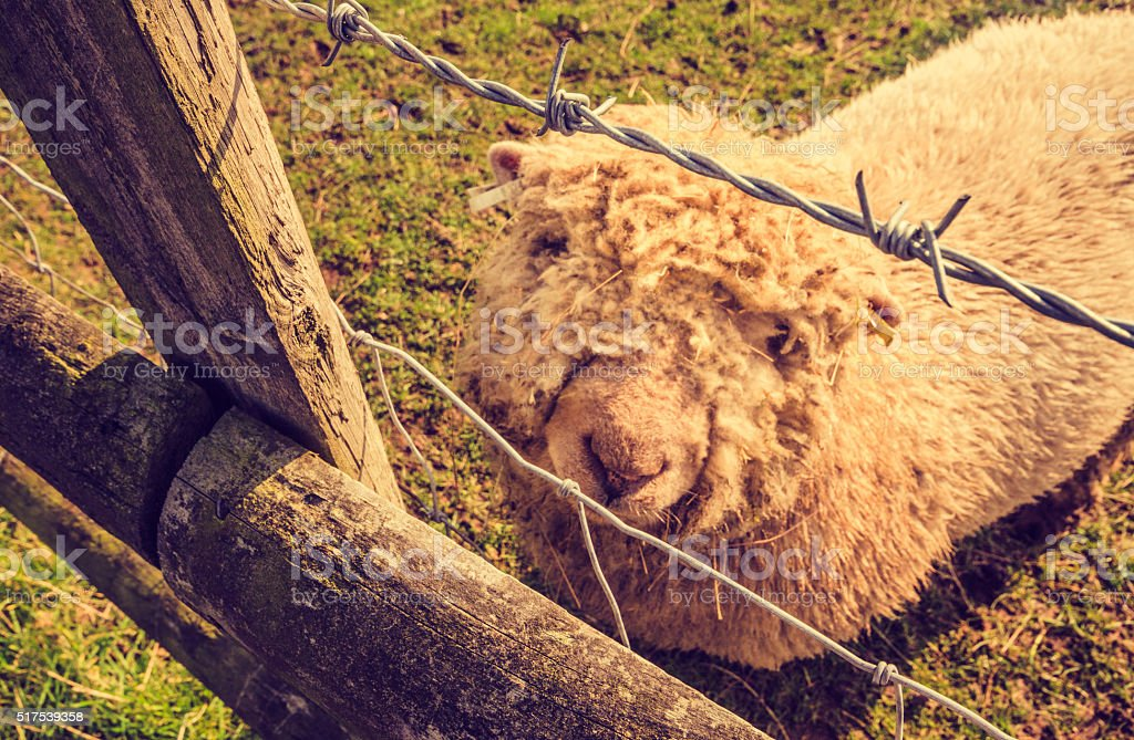 Animal rights - Lonely sad sheep stock photo