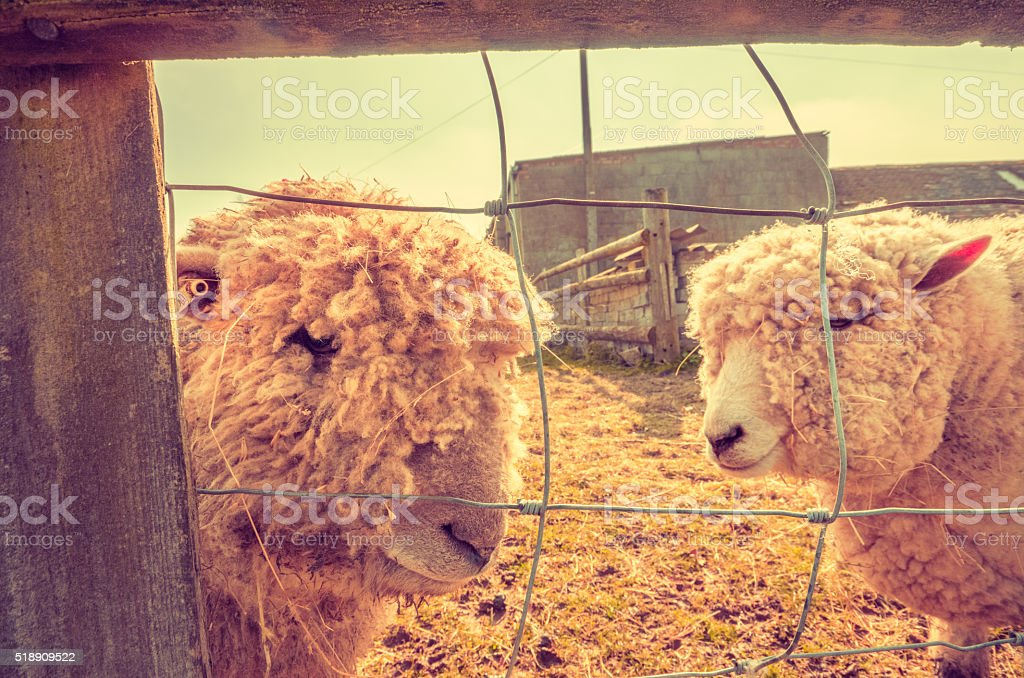 Animal rights - Two sheep behind fence stock photo