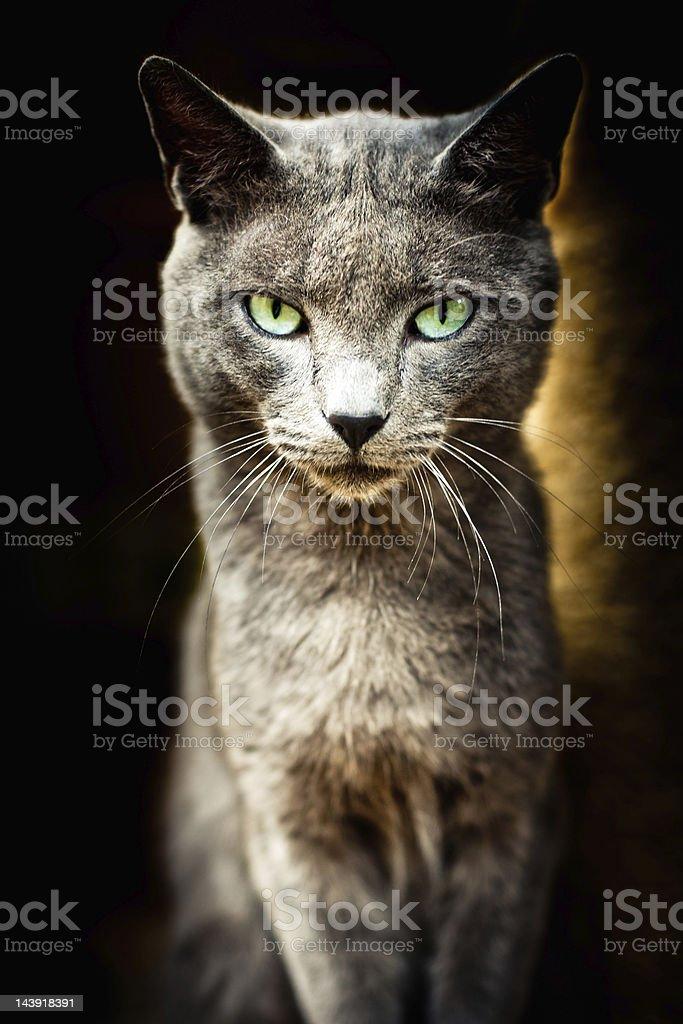 Animal Shelter Cat Portrait Series III royalty-free stock photo
