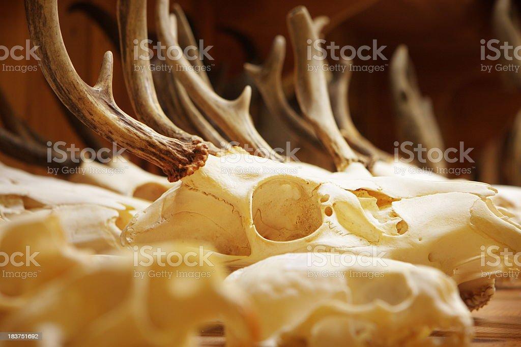 Animal Skull Bone Deer Antlers royalty-free stock photo
