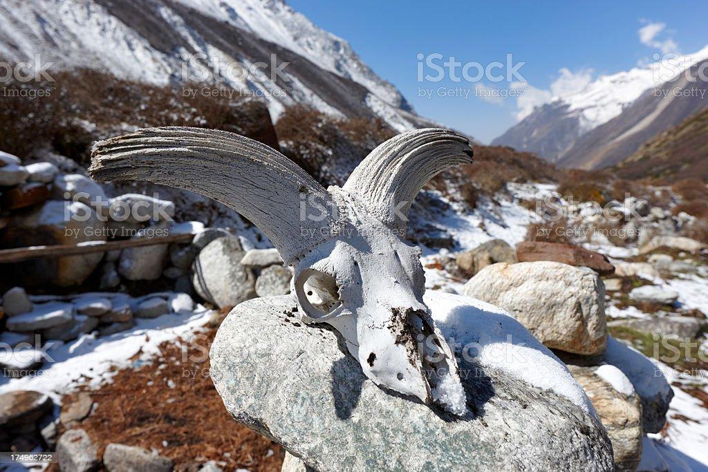 Animal skull. Kanchenjunga. Everest Circuit. Nepal motives stock photo
