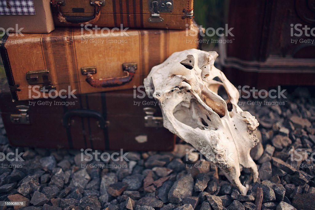 Animal Skull Leaned up on Vintage Suitcases stock photo