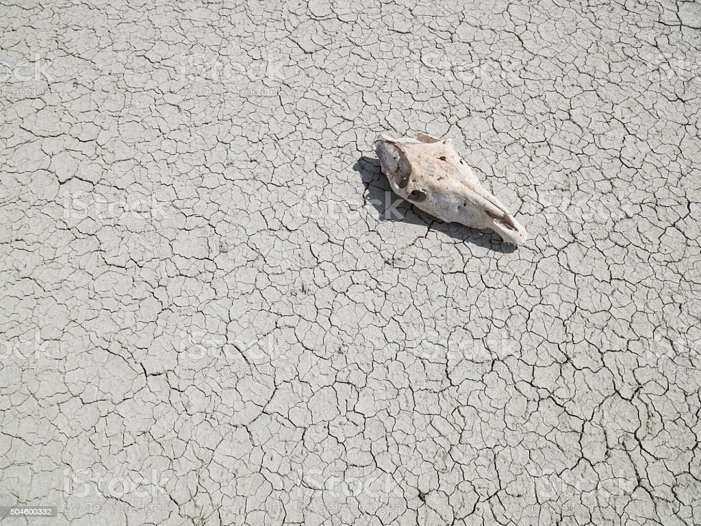 Animal skull on a dry cracked lake bed stock photo