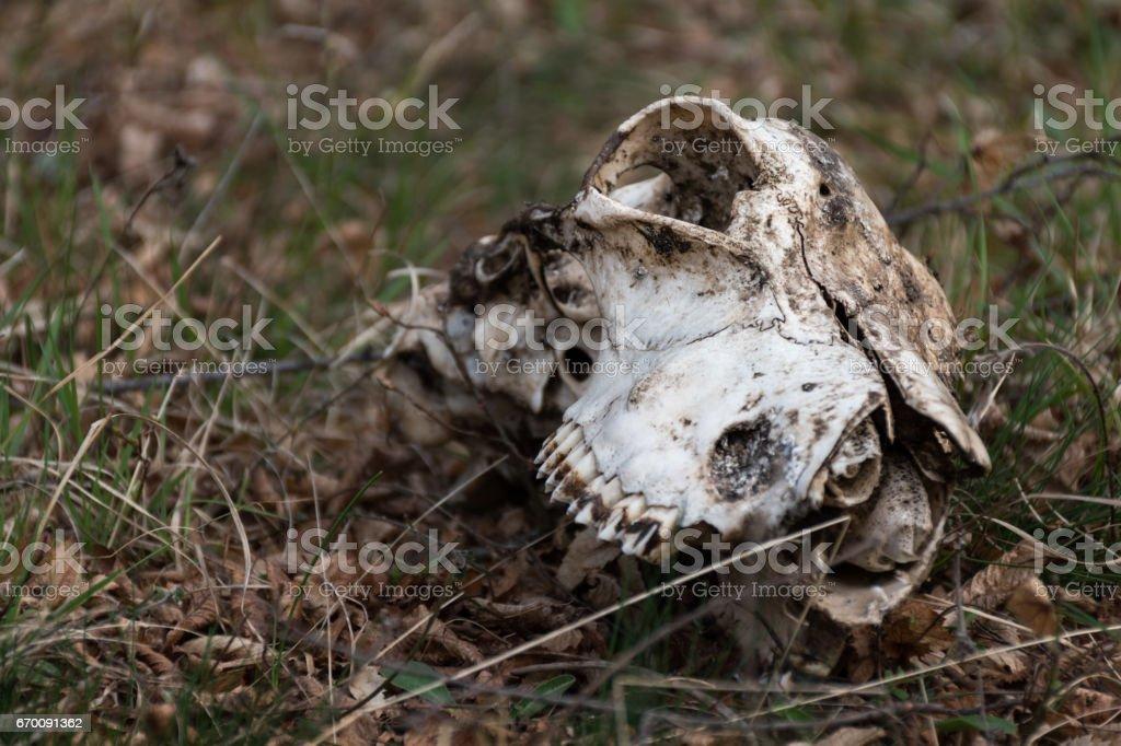 Animal skull on the grass stock photo