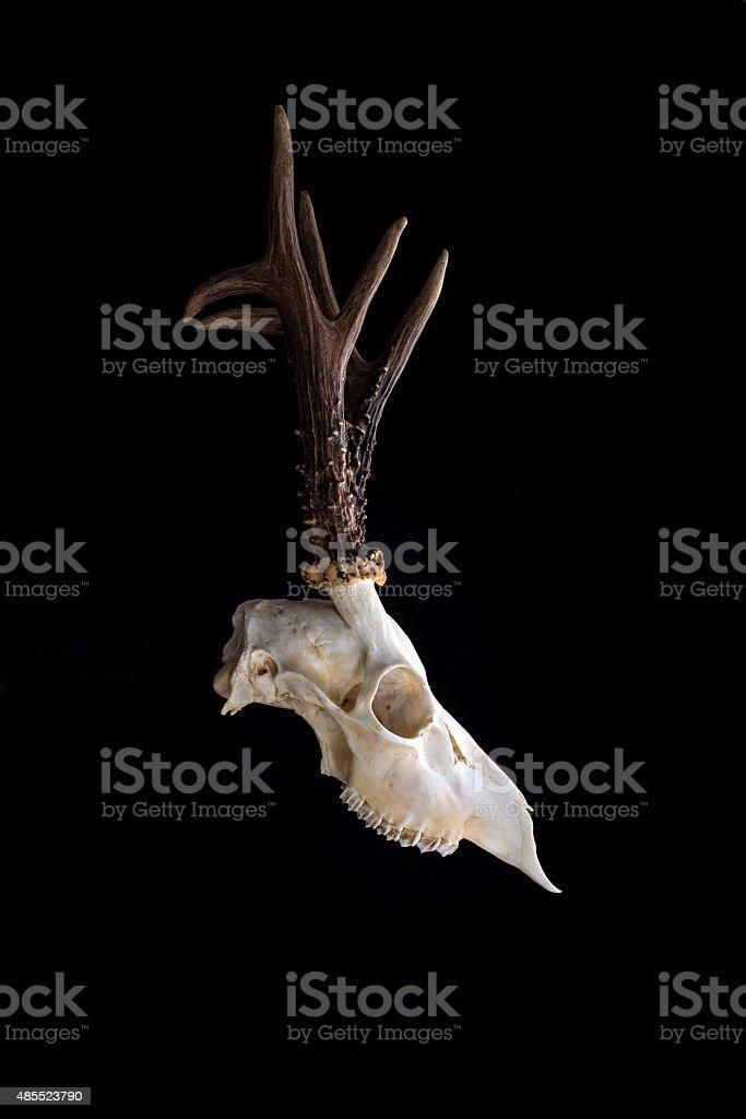 Animal skull. stock photo
