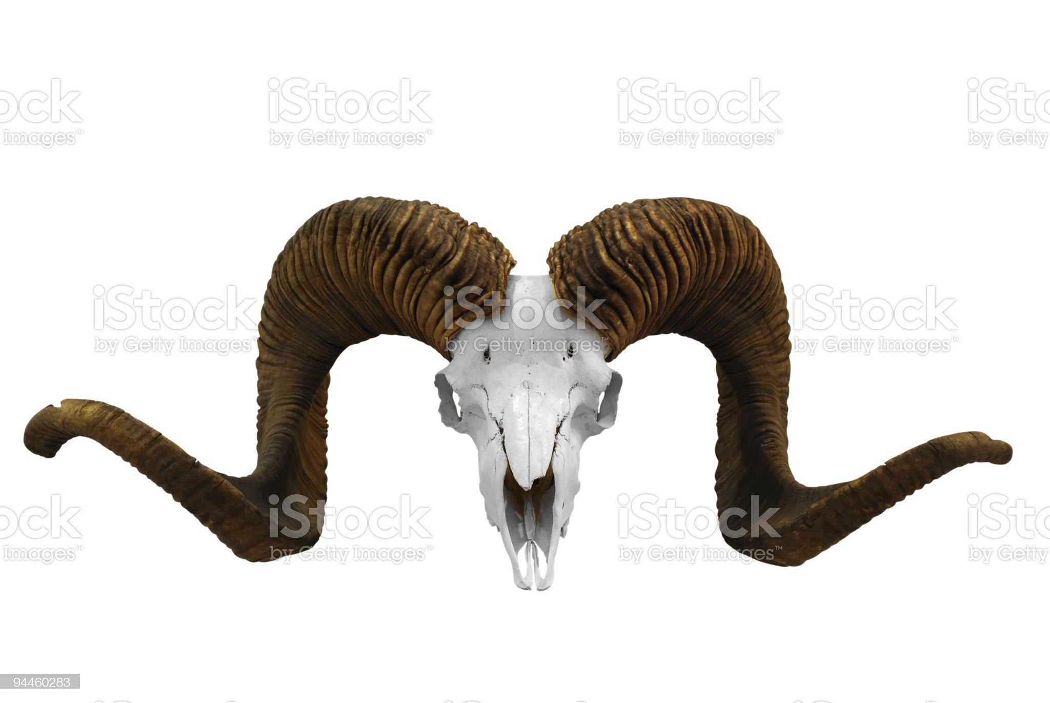 animal skull with big horn royalty-free stock photo