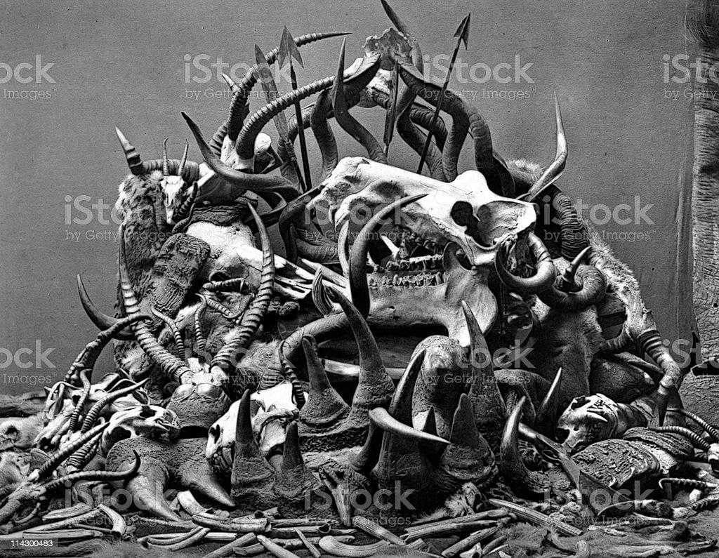 Animal Skulls, Horns, and bones from Poaching, circa 1800s stock photo