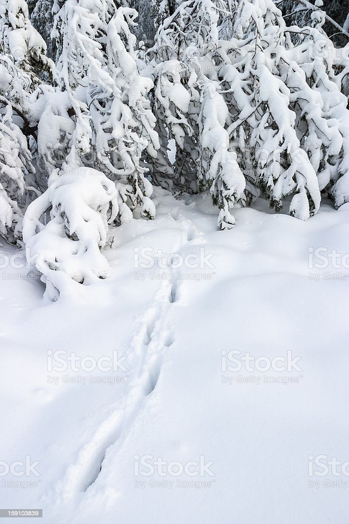 Animal track in snow royalty-free stock photo