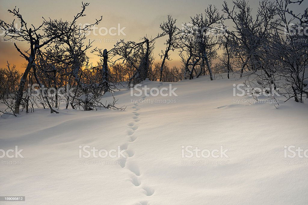Animal tracks in snow leading into forest on winter morning royalty-free stock photo