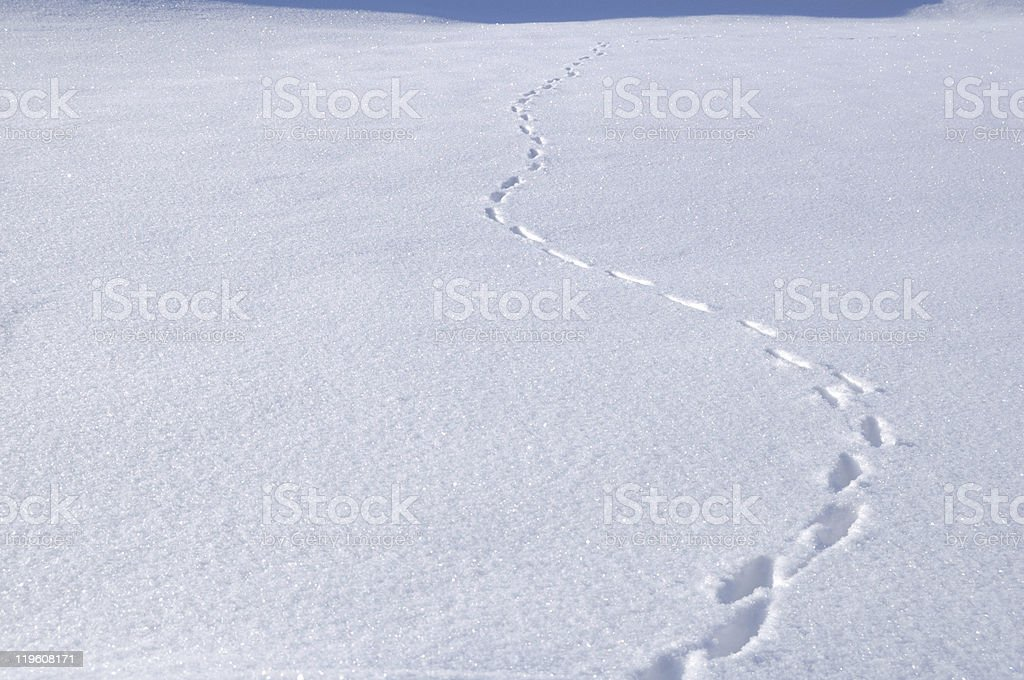 Animal Tracks in the Snow royalty-free stock photo