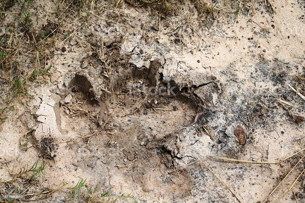 Animal tracks of Hippo, Botswana Africa stock photo