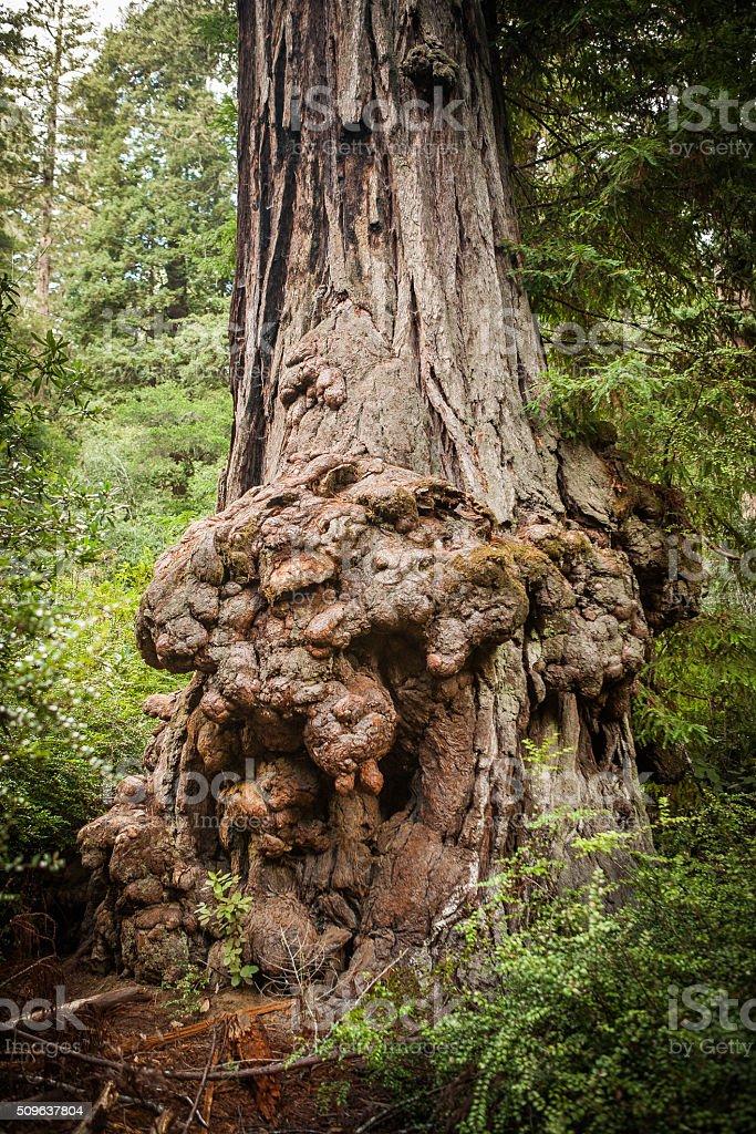 Animal Tree, Big Basin Redwoods State Park royalty-free stock photo