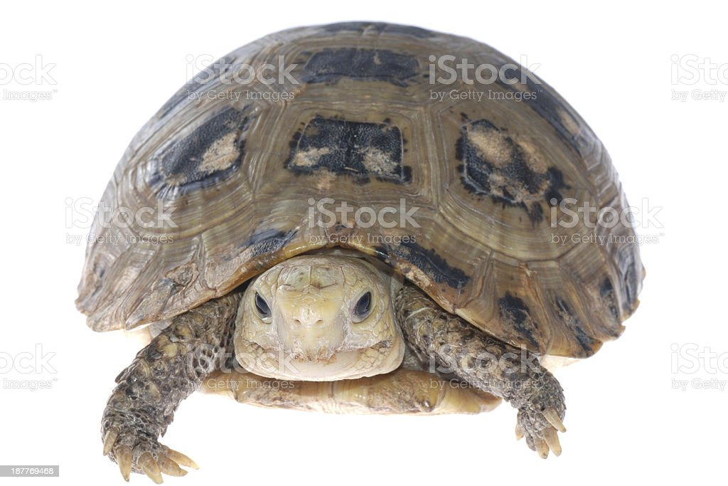 animal turtle tortoise stock photo