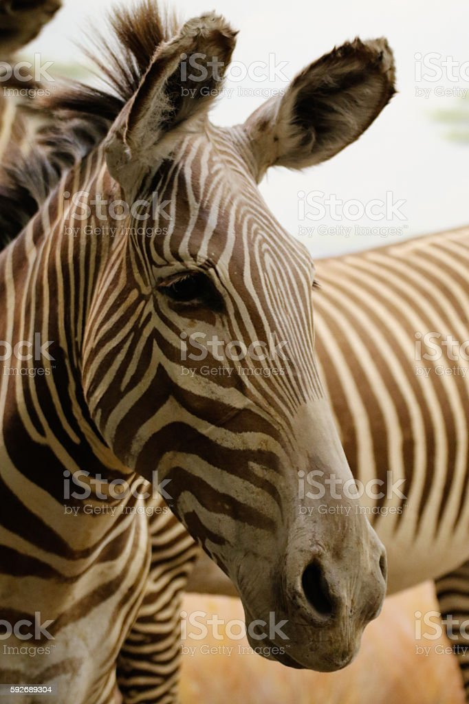 Animals: 2 Zebras next to each other stock photo