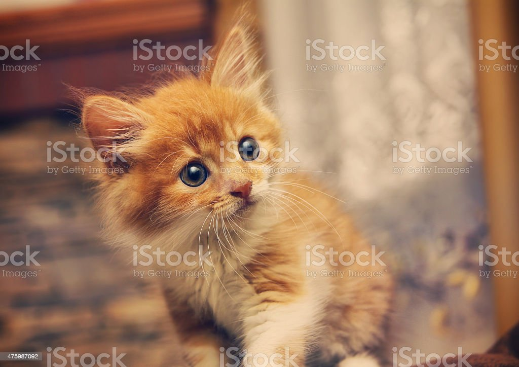 Animals at home . Cute Red cute little baby cat pet. stock photo