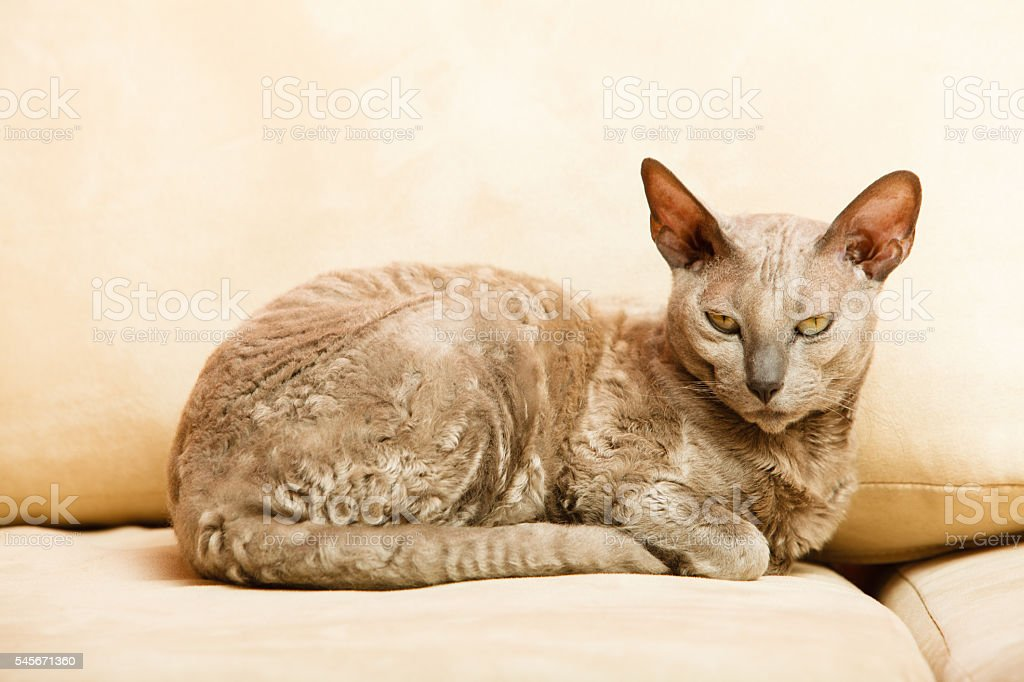Animals at home. Egyptian mau cat stock photo