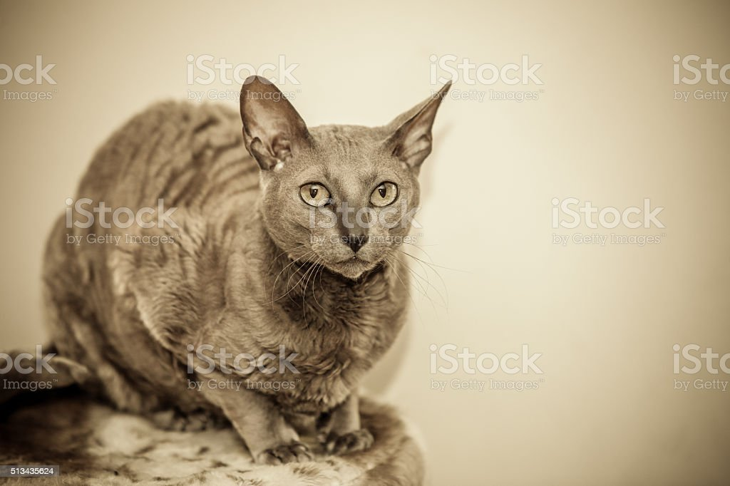 Animals at home. Egyptian mau cat portrait stock photo