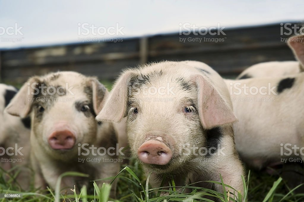 Animals - Baby Piglets On The Farm stock photo
