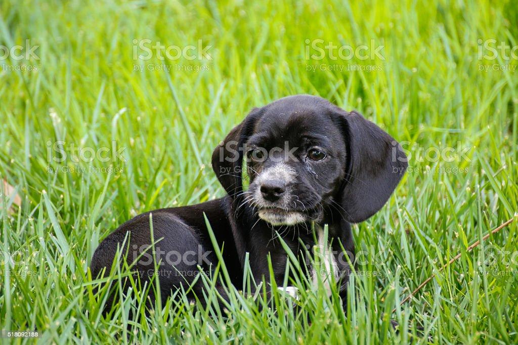 Animals: Beagle and cocker spaniel puppy stock photo