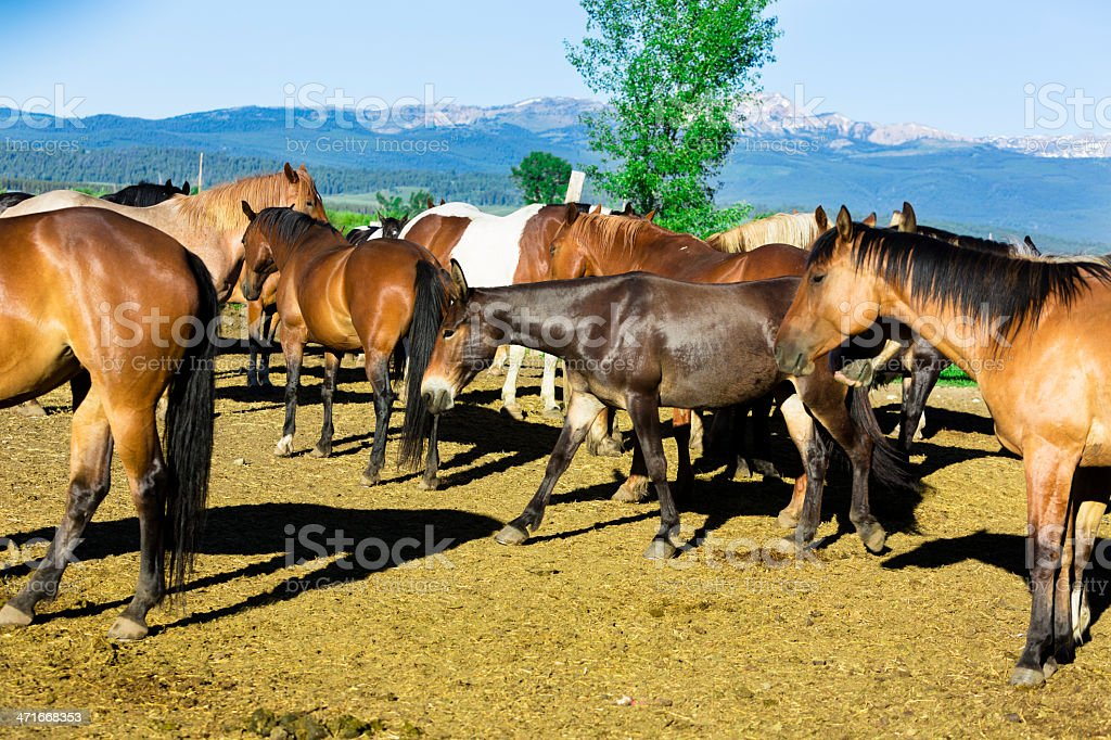 Animals:  Beautiful horses and a mule in corral.  Rocky Mountains. royalty-free stock photo