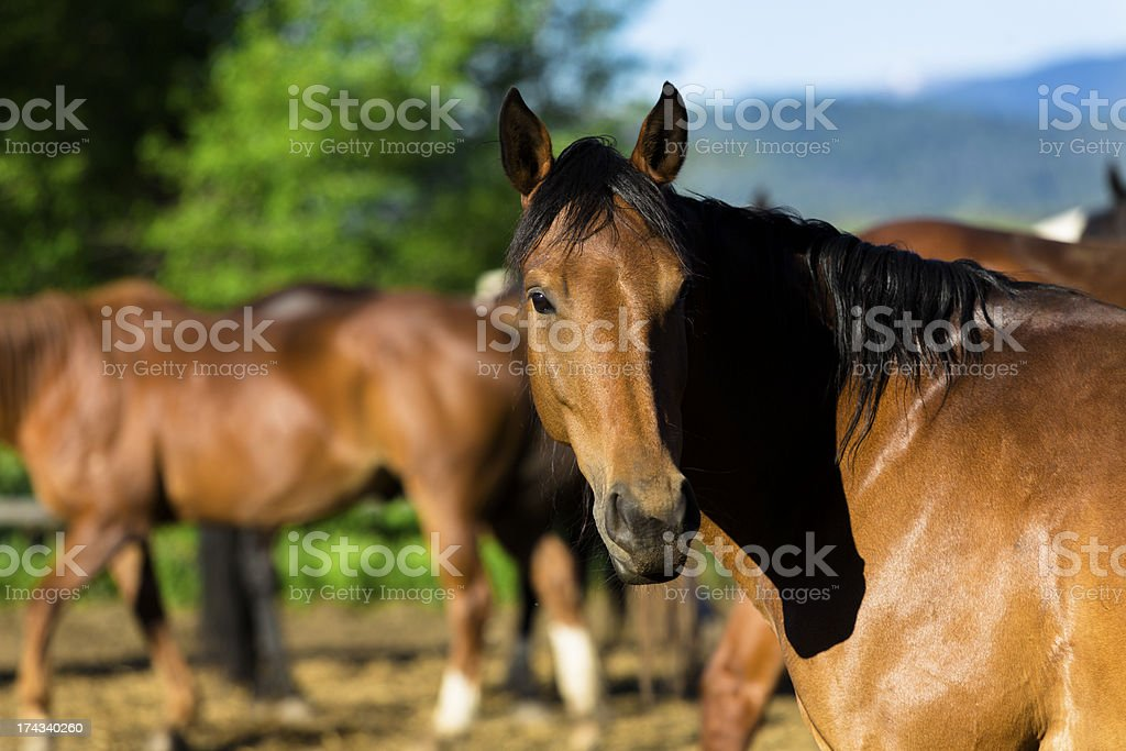 Animals:  Beautiful horses in corral.  One looking at camera. royalty-free stock photo