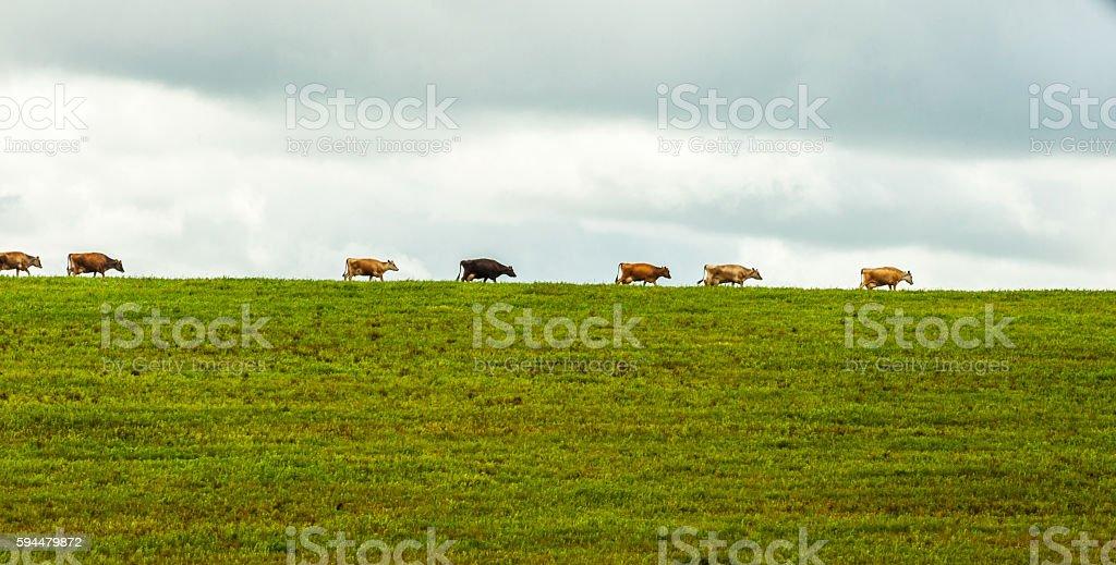 Animals. Cows. stock photo