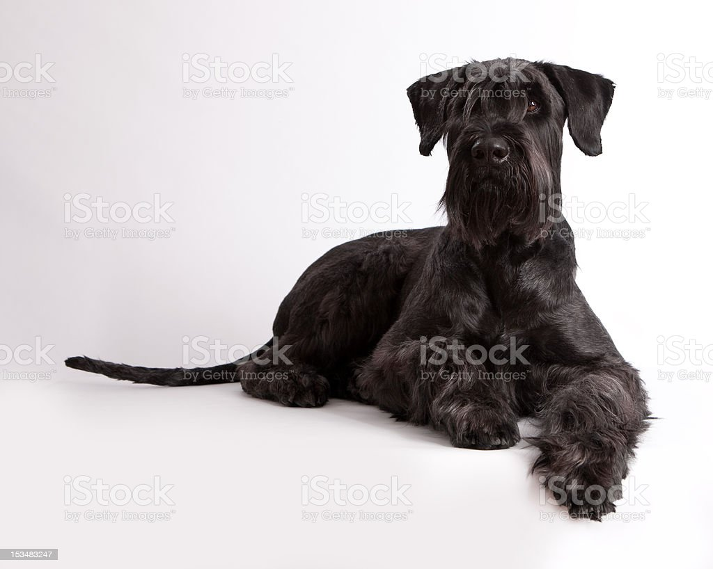 Animals dog - Riesenschnauzer stock photo