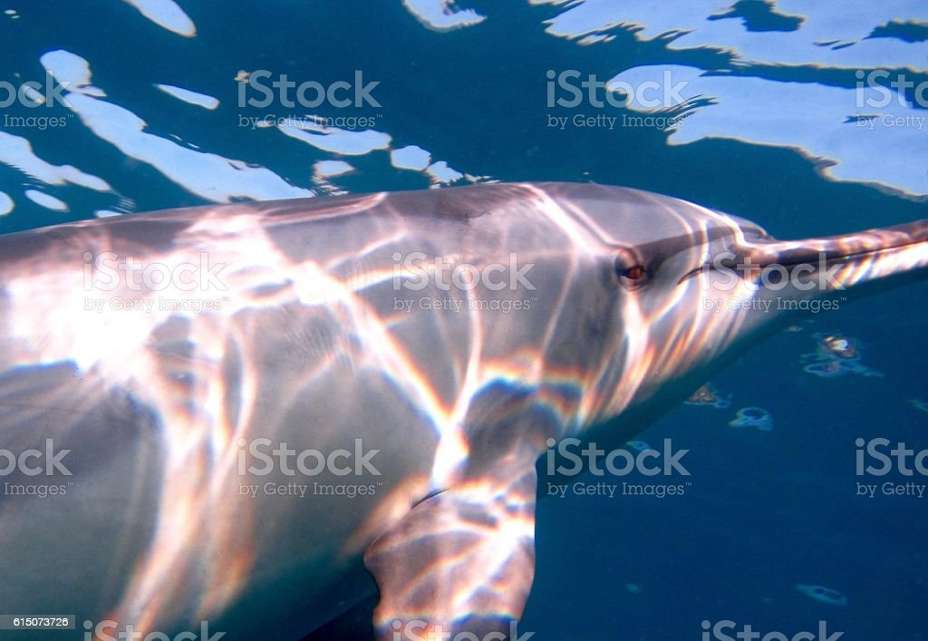 Hawaiian Spinner Dolphin underwater in the Pacific Ocean