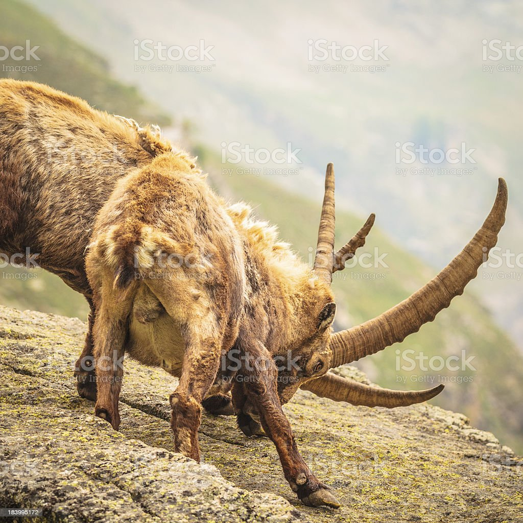 Animals Fighting stock photo