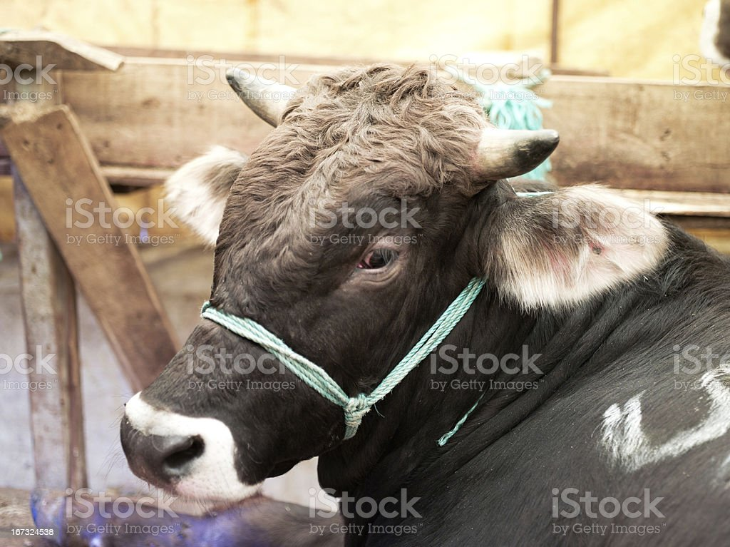 Animals for muslim festival of sacrifice. royalty-free stock photo