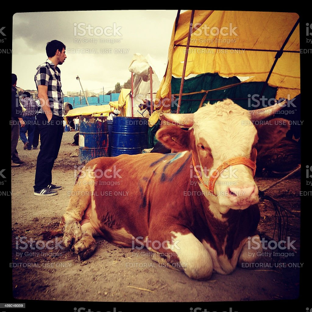 Animals for muslim festival of sacrifice royalty-free stock photo