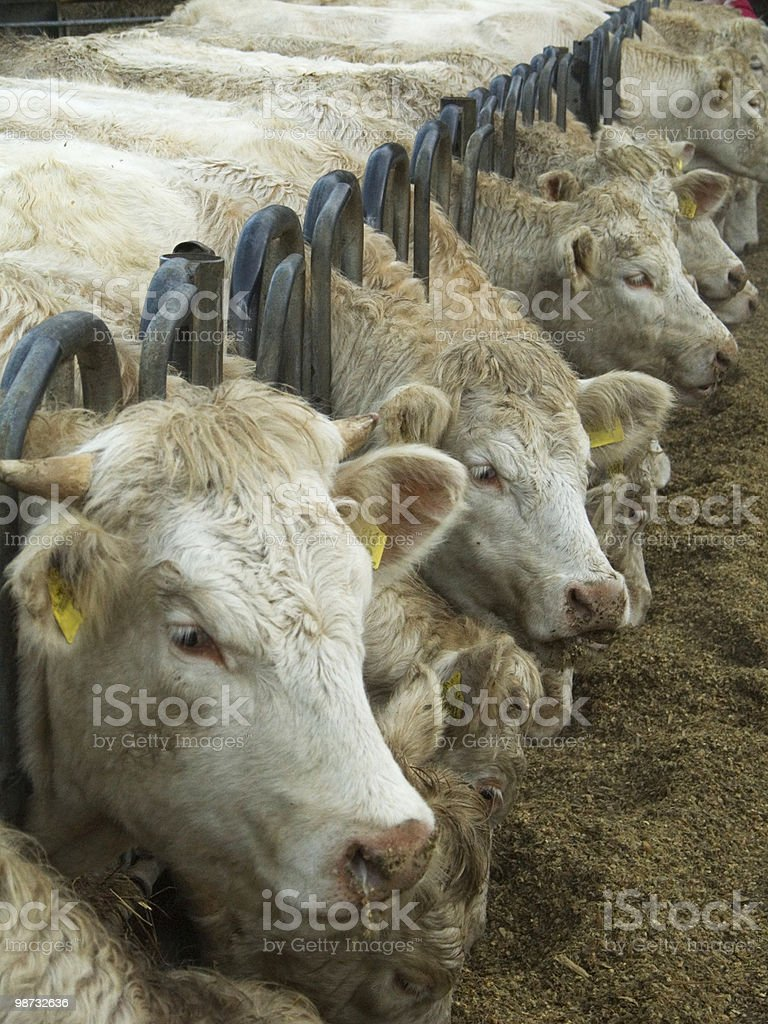 Animals; Force Fed Cattle royalty-free stock photo