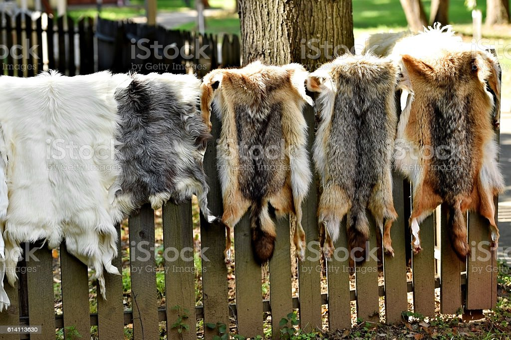 Animals fur for clothing on a wooden fence stock photo