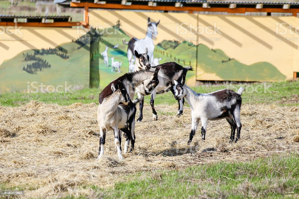 Animals: Goats playing stock photo