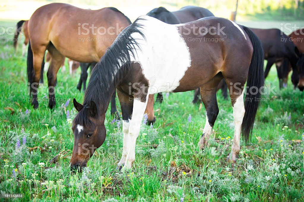 Animals: Group of horses grazing grass in mountain valley pasture. royalty-free stock photo
