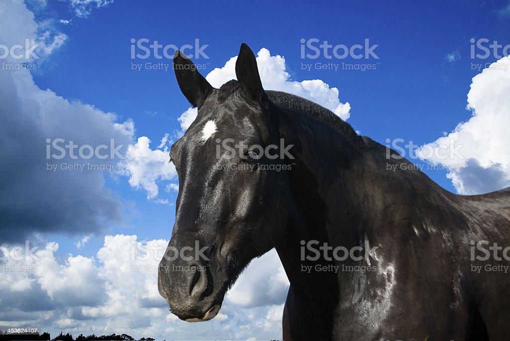 Animals: Headshot of beautiful black stallion horse. Gorgeous sky. stock photo