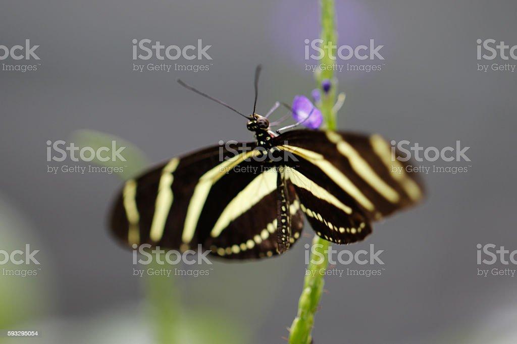 Animals: Heliconius charitonia zebra butterfly stock photo