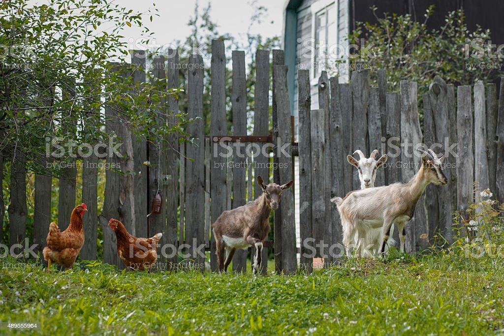 Animals in Russian Village stock photo