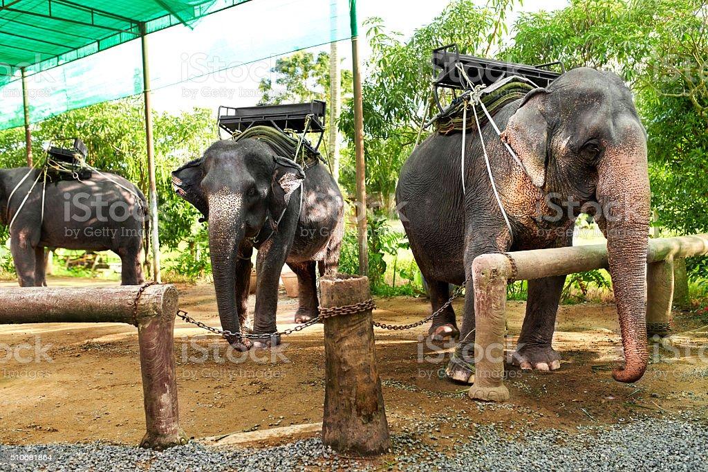 Animals In Thailand. Thai Elephants With Ride Saddles. Travel, Tourism. stock photo