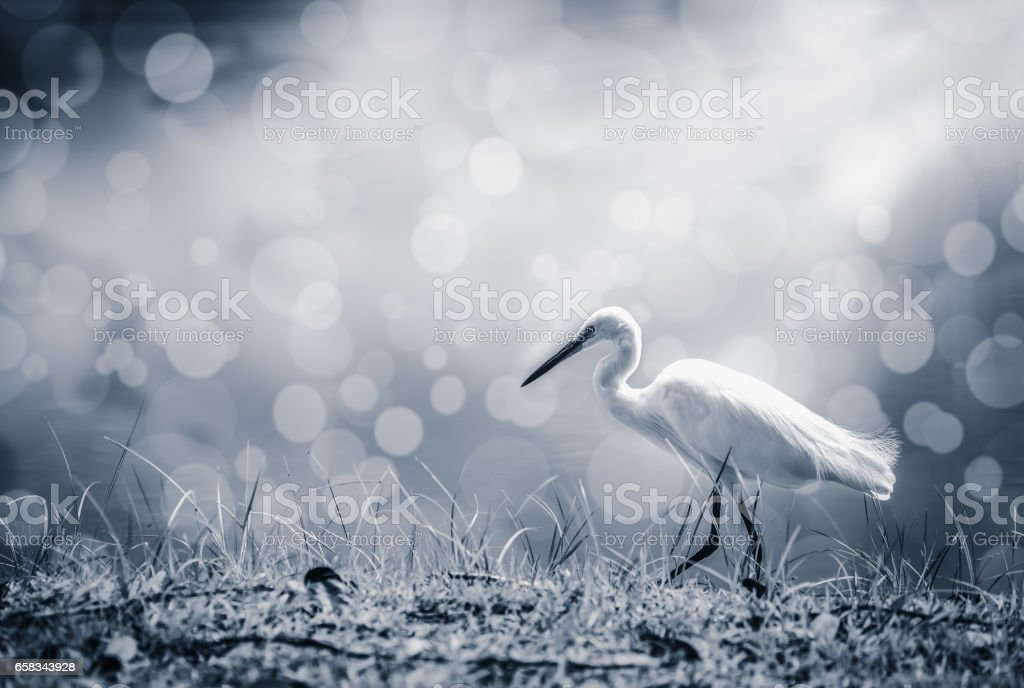 Animals in Wildlife - White Egrets. Outdoors. stock photo