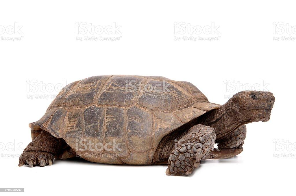 Animals : Isolated Desert Tortoise royalty-free stock photo